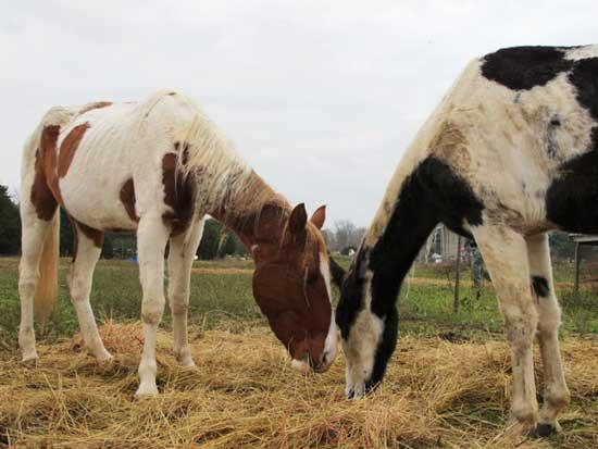 Humane Society Assists In Rescue Of More Than 80 Neglected Horses