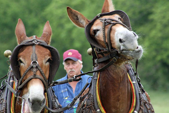 Mule Skinners Cut Show For 'Tennessee Crossroads'