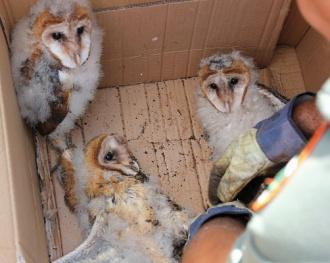 State Rescues 'Evicted' Barn Owls