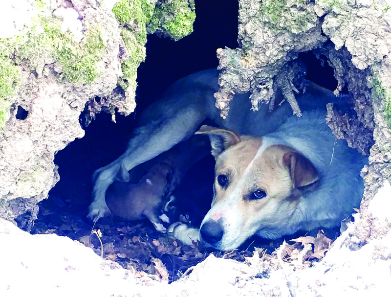 CCCA rescues Goldie & pups