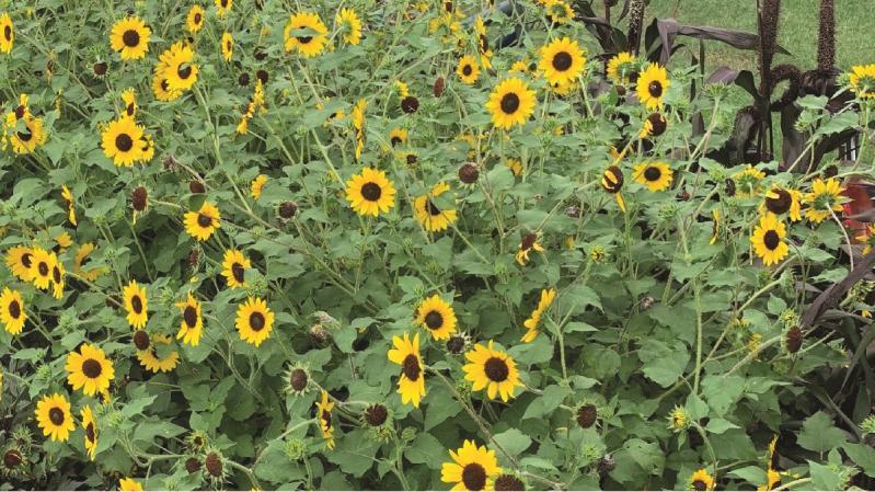 Suncredible Sunflower Named As UT's Flower Of The Month
