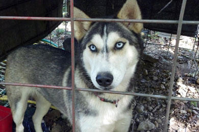 Full-blooded husky found on Short Mountain